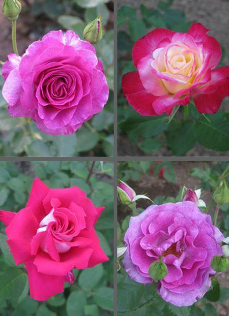RoseQuad1b