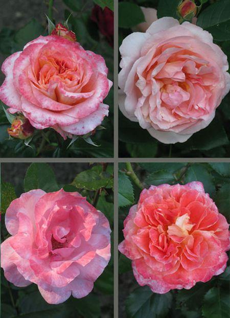 RoseQuad2c